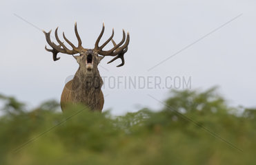 Red deer (Cervus elaphus) Stag bellowing amongst braken in Autumn  England