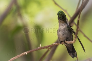 Antillean Crested Hummingbird (Orthorhyncus cristatus) grooming on a branch  Montserrat Island