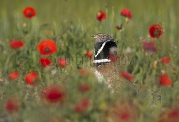 Little bustard (Teyrax tetrax) Bustard in a meadow at sunrise  Spain  Spring