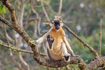 Capped langur (Trachypithecus pileatus) in a tree  Trishna wildlife sanctuary  Tripura state  India