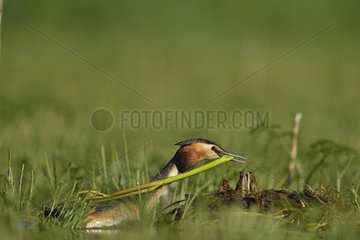 Great Crested Grebe (Podiceps cristatus) bringing materials for the nest  Dombes  Fance