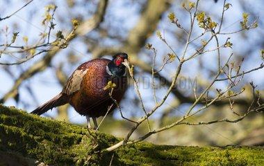 Pheasant (Phasianus colchicus) Male eating oak bud  England  Spring