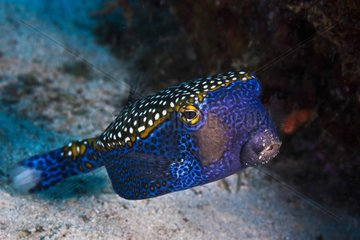 Whitespotted boxfish (Ostracion meleagris) with grains of sand stuck on the muzzle  Passe en S  Mayotte  Indian Ocean