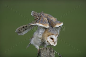 Barn Owl (Tyto alba) stretching on a pole  Lorraine  France