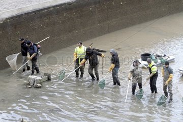 Electrofishing to collect the fish for draining the canal Saint-Martin in Paris 10th  France