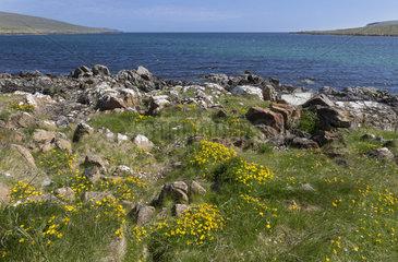 Unst island landscape in spring  Shetland  Scotland