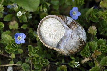 Burgundy snail ( Helix pomatia ) capped the end of hibernation and Germander speedwell (Veronica chamaedrys ) flowers in a vegetable garden   France