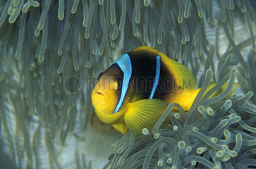 Twoband anemonefish (Amphiprion bicinctus) in anemone  Red Sea  Sharm El Sheikh  Egypt