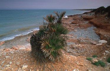 Palmier nain sur côte rocheuse méditérranéenne