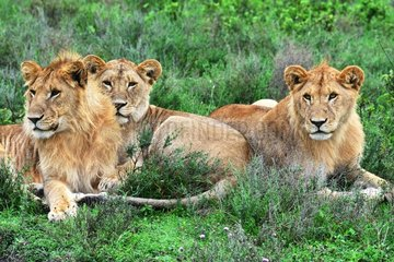 Tanzania. Serengeti national parc. Brotherhood of lions resting  two males and a female in between.