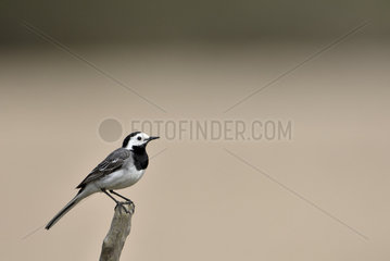 Pied Wagtail on a branch - Burgundy France