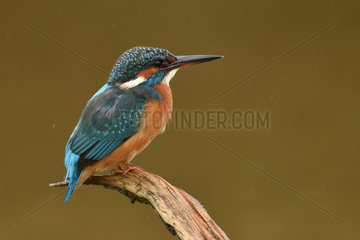 Common Kingfisher on a branch - Burgundy France