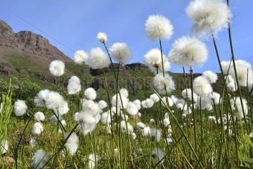 Denmark. Greenland. West coast. Field of cottongrass.