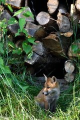 Red Fox  cub out of a pile of wood stored near the forest