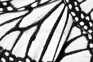 Close-up of Monarch wing. Santuario El Rosario  Michoacan  Mexico