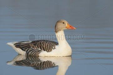 Greylag goose (Anser anser)  Bastard  Hesse  Germany  Europe