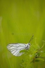 Black-veined White (Aporia crataegi) - Bourgogne - France