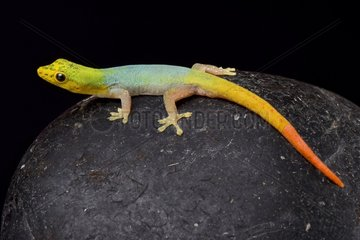 Cameroon dwarf gecko (Lygodactylus conraui) on black background