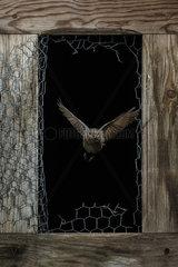 Black Redstart (Phoenicurus ochruros) flying through a broken fence  Spain