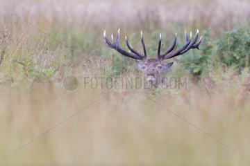 Red deer (Cervus elaphus) Stag bellowing in long grass in Autumn  England