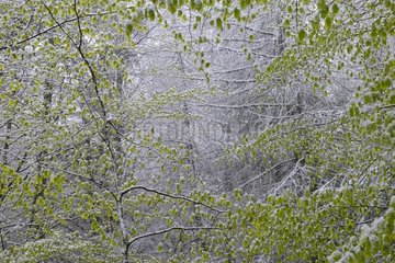 Spring snow  new beech leaves in a late snow  Northern Vosges Regional Nature Park  France