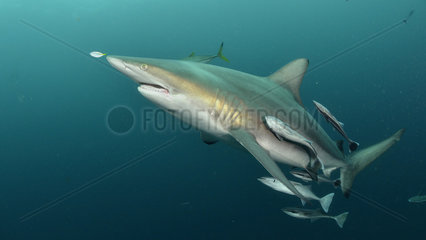 Blacktip shark (Carcharhinus limbatus) with Pilot Fish and Remoras - Site of Protea Banks  off the town of Umkomaas  South Africa