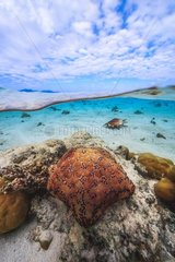 Cushion Starfish (Culcita sp) and Giant spider conch (Lambis truncata) in the lagoon of Mayotte  Indian Ocean