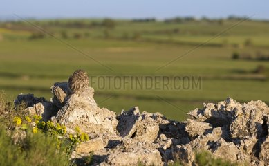 Little owl (Athene noctua) Little Owl perched on a stone  Spain  Spring