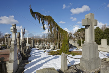 Weeping Giant sequoia (Sequoiadendron giganteum pendulum) in a graveyard in winter  France