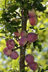 Apple (Malus pumila )   Schafsnase Berliner variety   apples Conservatory Orchard  Froeschwiller   Alsace  France