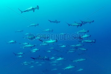 Shoal of schooling Scalloped hammerhead sharks  Sphyrna lewini  Roca Partida close to San Benedicto island  Revillagigedo Archipelago Biosphere Reserve (Socorro Islands)  Pacific Ocean  Western Mexico
