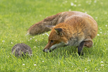 Red fox (Vulpes vulpes and Hedgehogs  (Erinaceus europaeus)  fox looking at a hedgehog  England  Summer