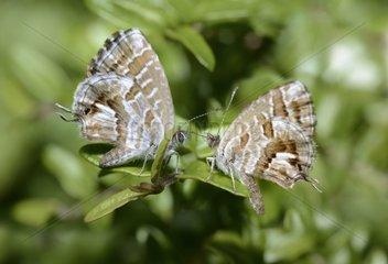 Geranium Bronze (Cacyreus marshalli) couple on a leaf  Anduze  Cevennes  France