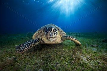 Green turtle (Chelonia mydas) on the bottom  Indian Ocean  N'Gouja Bay  Mayotte
