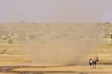 Oryx at the water and sand tornado - Kalahari desert
