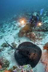 Blotched fantail ray (Taeniura meyeni) and diver  Maldives  Indian Ocean