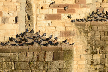 Pigeons resting on the old bridge of Albi above the Tarn. Occitania  France