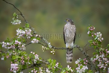 Sparrowhawk perched amongst crab apple blossoms  England  Spring