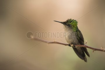 Antillean Crested Hummingbird (Orthorhyncus cristatus) young male on a branch  Montserrat Island
