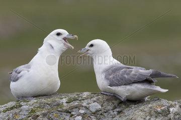 Fulmar (Fulmarus glacialis) Fulmar idisplaying to each other  Shetland  Spring