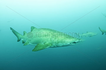 Sand Tiger Sharks grouping (Carcharias taurus) in open water - Off Port St. Johns  East Coast of South Africa