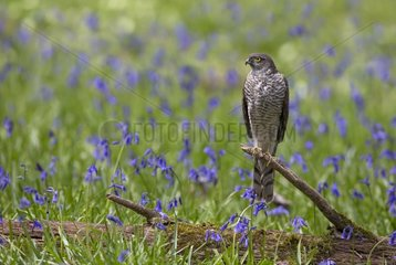 Sparrowhawk (Accipiter nisus) Young male perched amongst bluebell  Spring  England