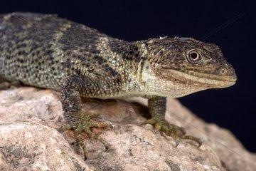 Portrait of Flathead knob-scaled lizard (Xenosaurus platyceps) on black background