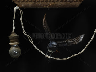 Black Redstart (Phoenicurus ochruros) flying away an electrical wire  Spain