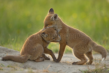 Red fox (Vulpes vulpes ) young playing   Country Fribourg   Switzerland