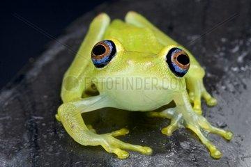 Blue-eyed green tree frog (Boophis viridis)