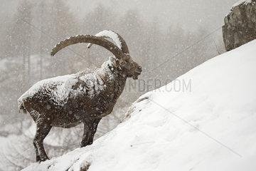 Alpine ibex ( Capra ibex) male in the snow  Alps  Italy