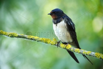 Barn swallow (Hirundo rustica) on a branch  Ardennes   Belgium