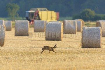 Western Roe deer (Capreolus capreolus) on Stubblefield  Fawn  Hesse  Germany  Europe
