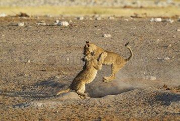 Lion (Panthera leo) - Two playful cubs near a waterhole. Etosha National Park  Namibia.